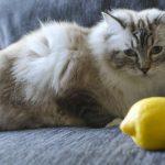 Limon kedi